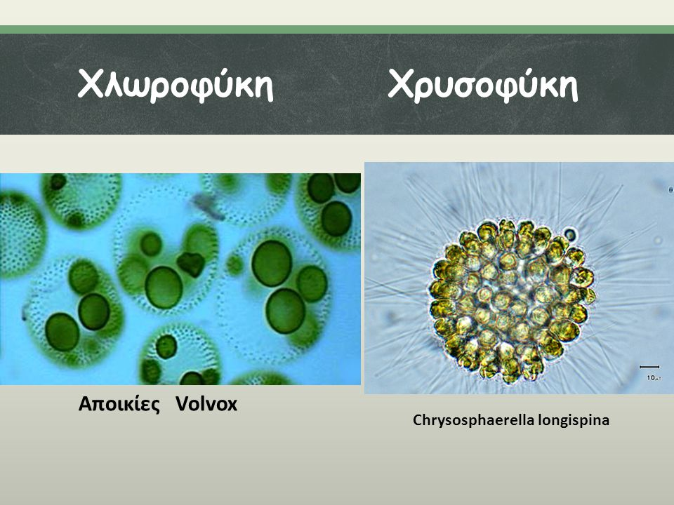 Χλωροφύκη Χρυσοφύκη Αποικίες Volvox Chrysosphaerella longispina