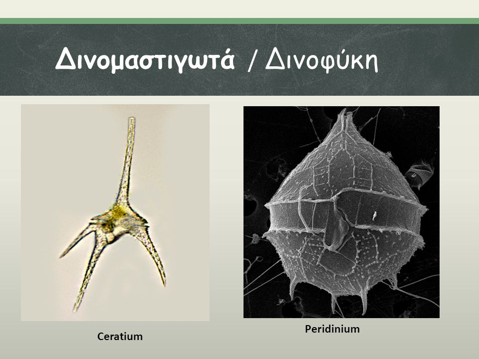 Δινομαστιγωτά / Δινοφύκη