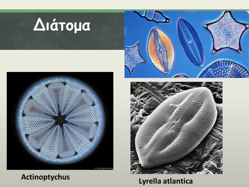 Διάτομα Actinoptychus Lyrella atlantica