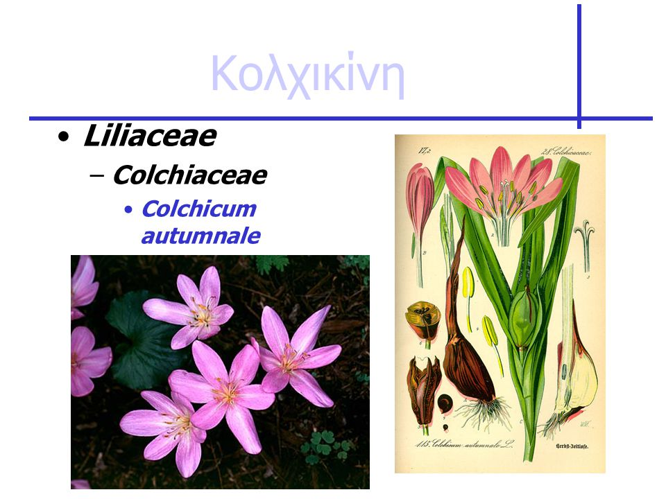 Κολχικίνη Liliaceae Colchiaceae Colchicum autumnale