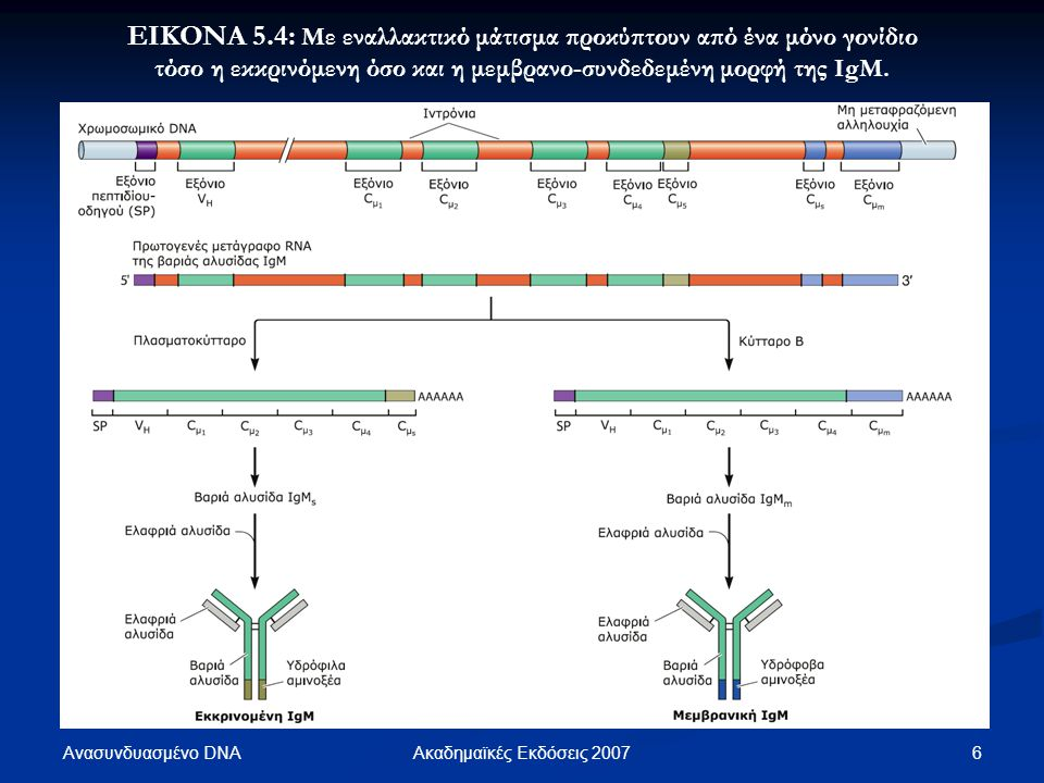 ΕΙΚΟΝΑ 5.4: Με εναλλακτικό μάτισμα προκύπτουν από ένα μόνο γονίδιο τόσο η εκκρινόμενη όσο και η μεμβρανο-συνδεδεμένη μορφή της IgM.