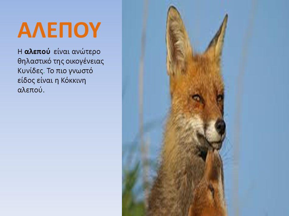 ΑΛΕΠΟΥ Η αλεπού είναι ανώτερο θηλαστικό της οικογένειας Κυνίδες.