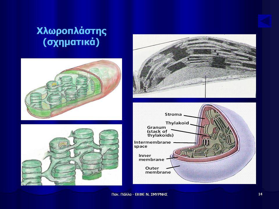 Χλωροπλάστης (σχηματικά)