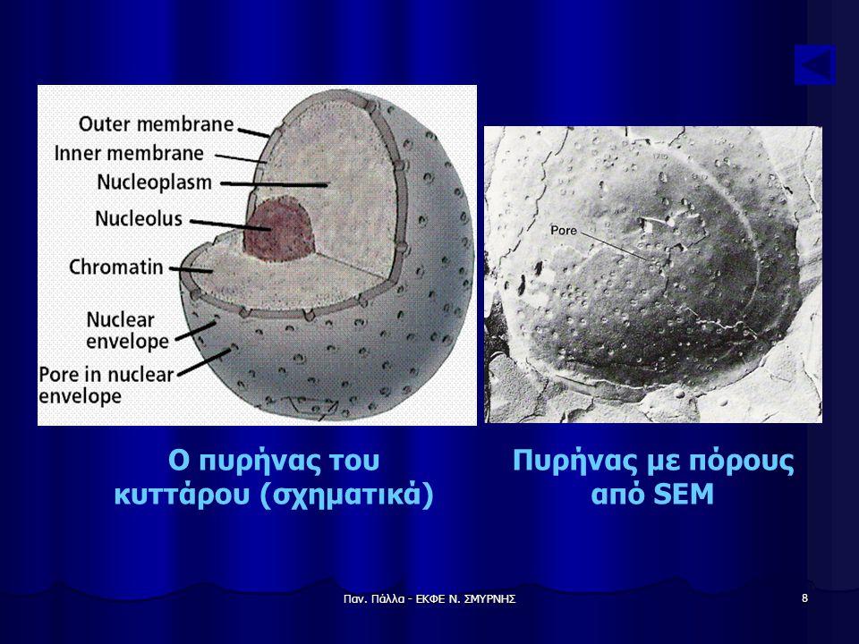 Ο πυρήνας του κυττάρου (σχηματικά) Πυρήνας με πόρους από SEM
