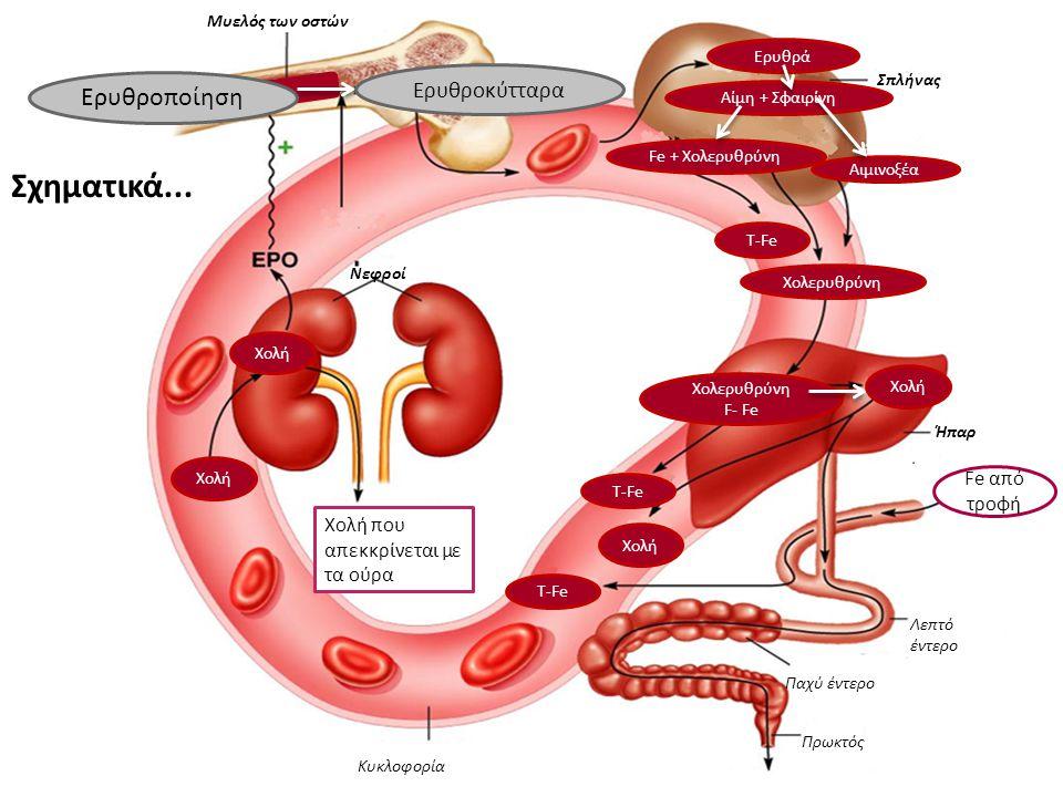 Σχηματικά... Ερυθροποίηση Ερυθροκύτταρα Fe από τροφή