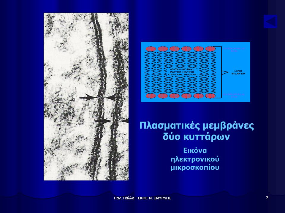 Πλασματικές μεμβράνες δύο κυττάρων Εικόνα ηλεκτρονικού μικροσκοπίου