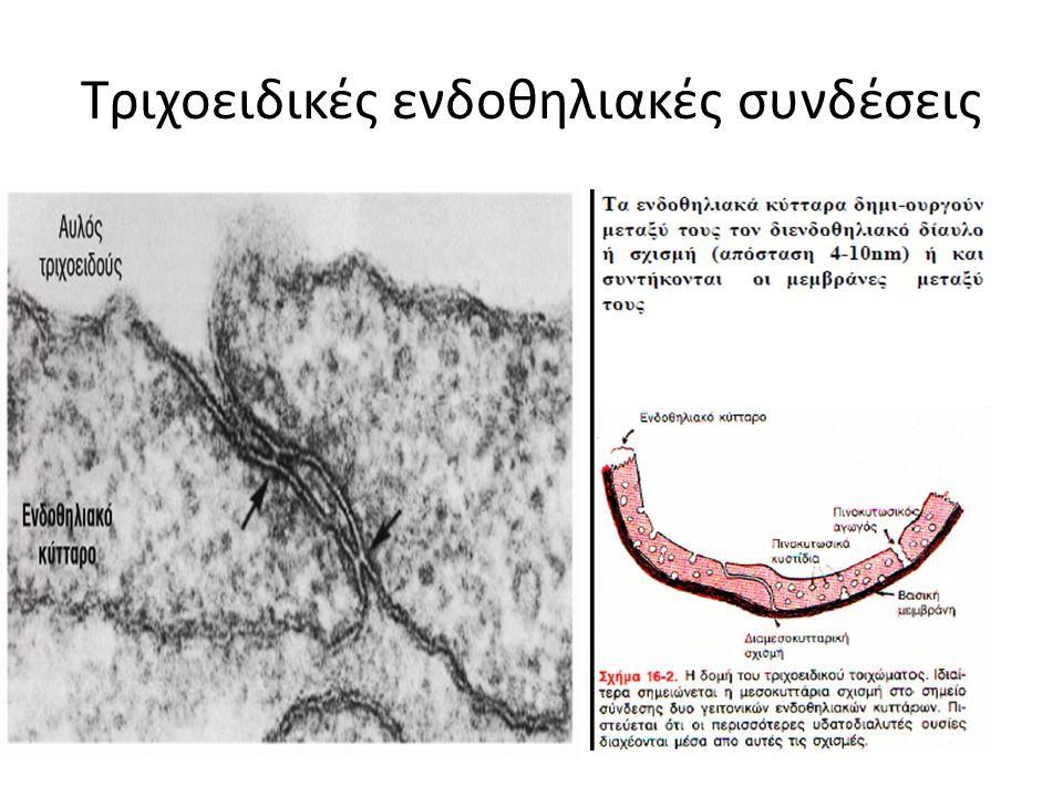 Τριχοειδικές ενδοθηλιακές συνδέσεις