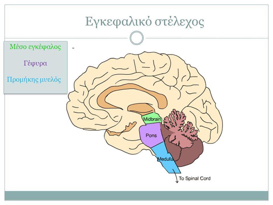 Εγκεφαλικό στέλεχος Μέσο εγκέφαλος Γέφυρα Προμήκης μυελός