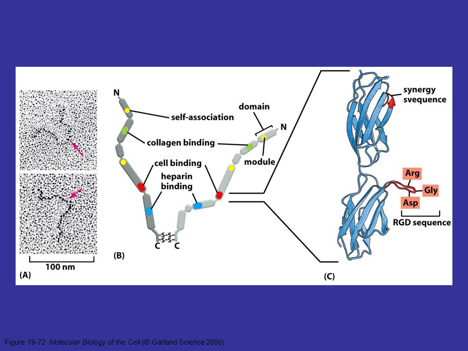 Figure 19-72 Molecular Biology of the Cell (© Garland Science 2008)