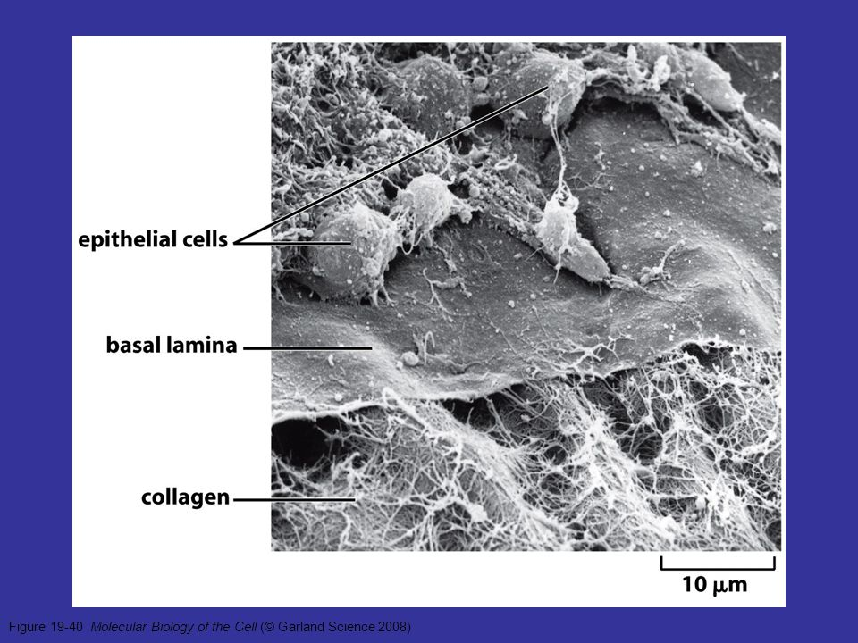 Figure 19-40 Molecular Biology of the Cell (© Garland Science 2008)