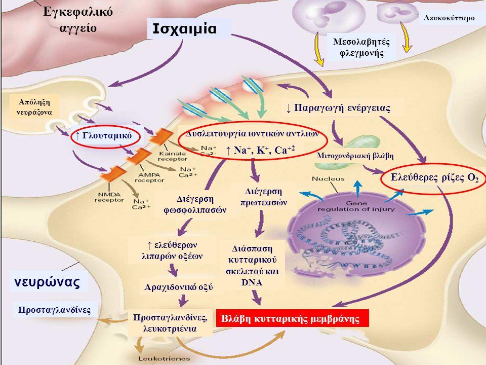 Εγκεφαλικό αγγείο Ισχαιμία νευρώνας ↓ Παραγωγή ενέργειας