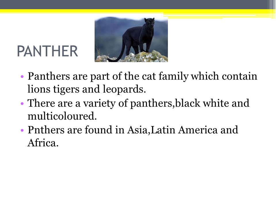 PANTHER Panthers are part of the cat family which contain lions tigers and leopards.