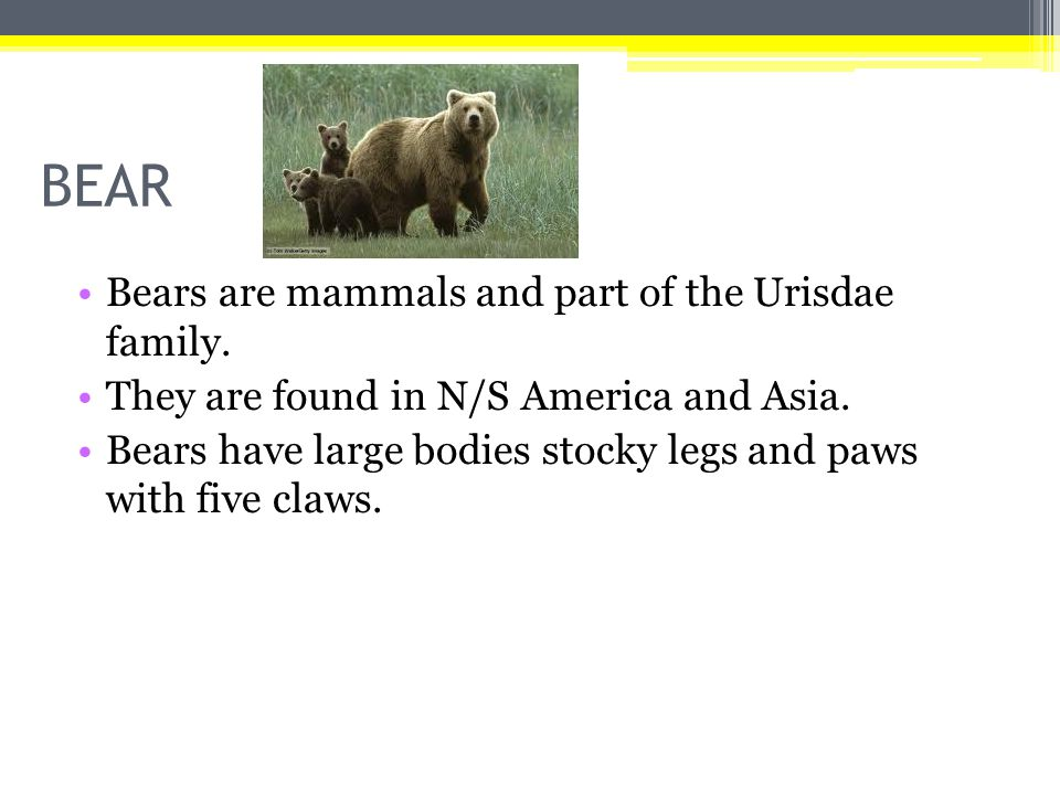 BEAR Bears are mammals and part of the Urisdae family.
