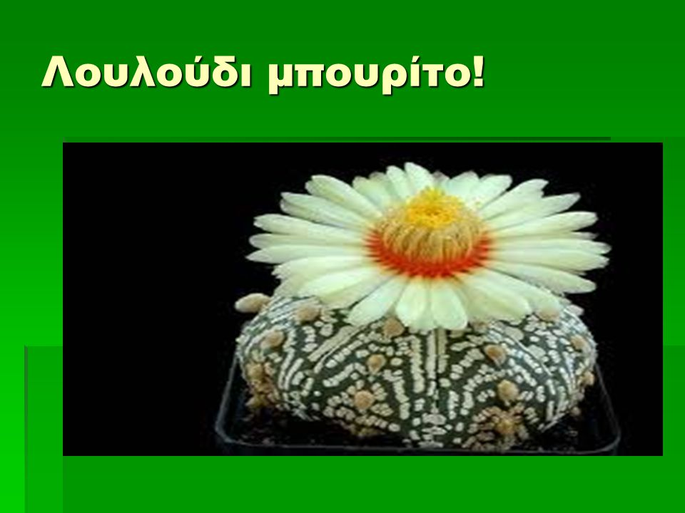 Λουλούδι μπουρίτο!