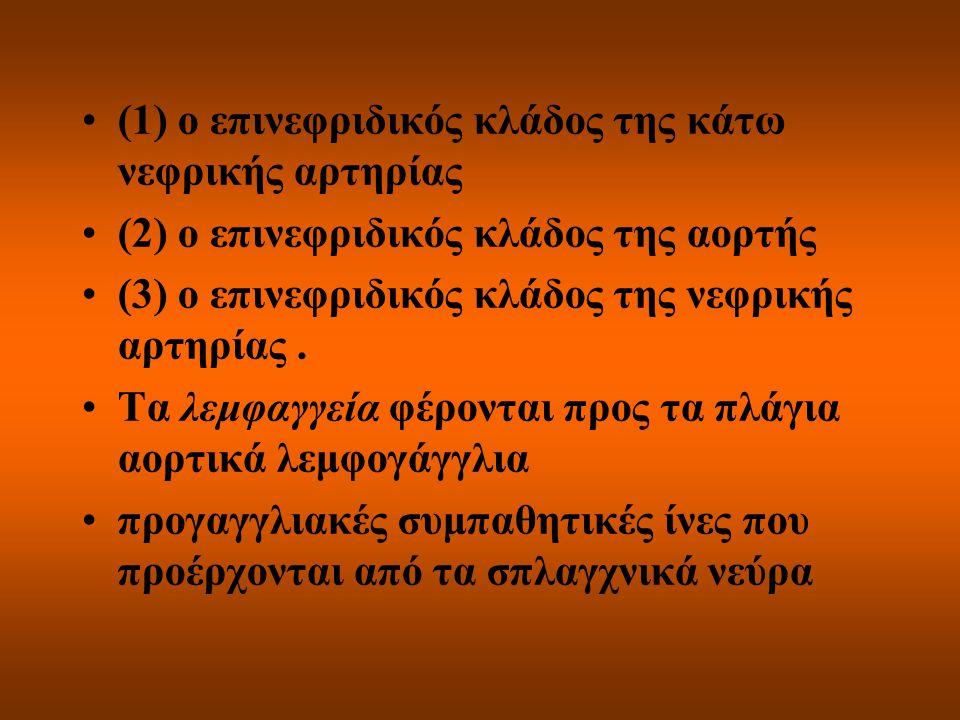 (1) ο επινεφριδικός κλάδος της κάτω νεφρικής αρτηρίας
