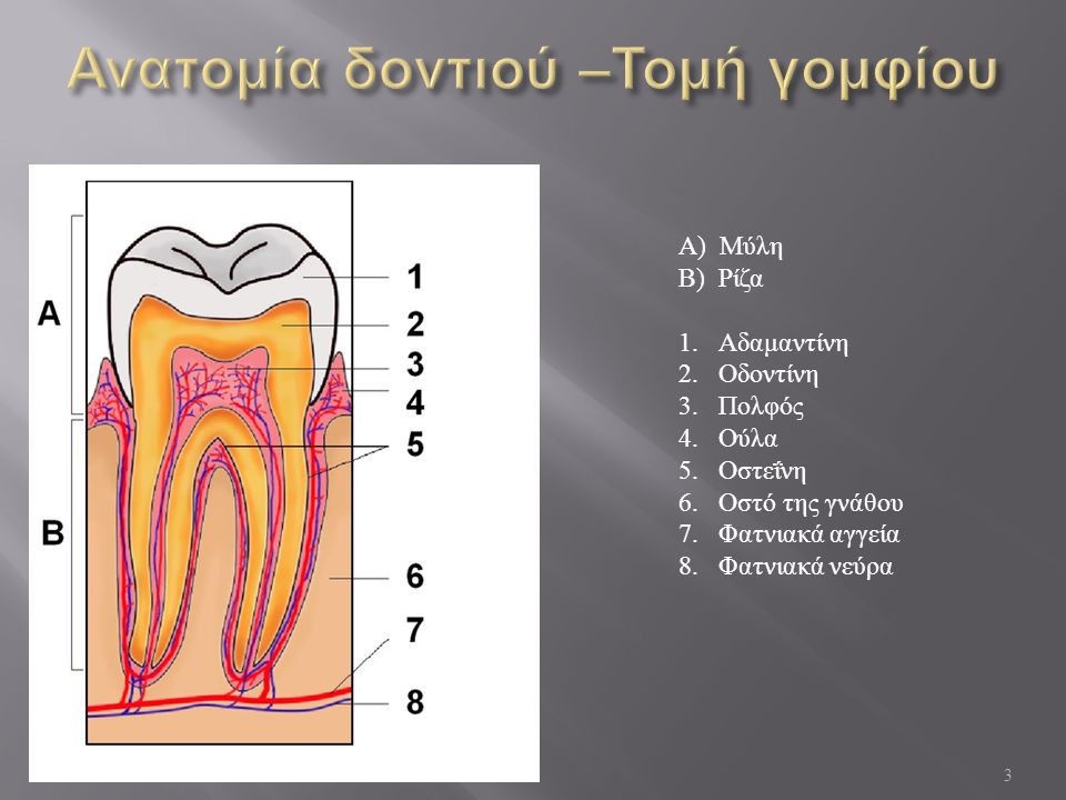 Ανατομία δοντιού –Τομή γομφίου