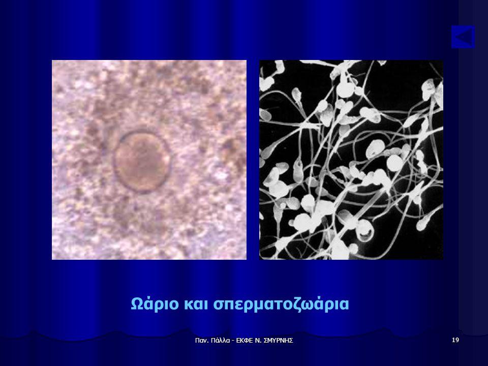 Ωάριο και σπερματοζωάρια