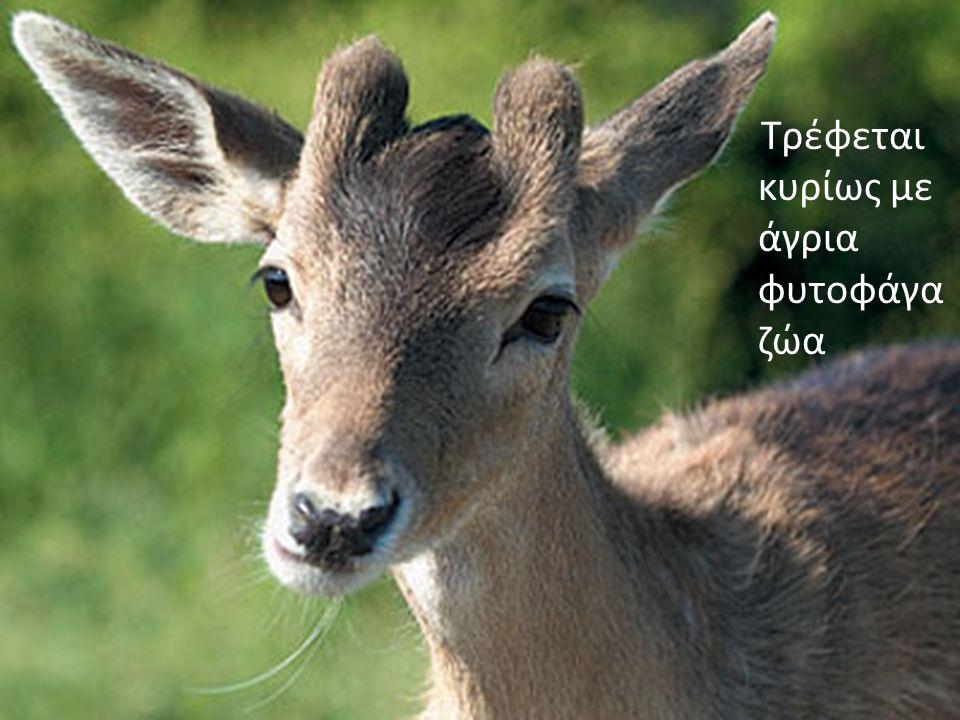 Τρέφεται κυρίως με άγρια φυτοφάγα ζώα