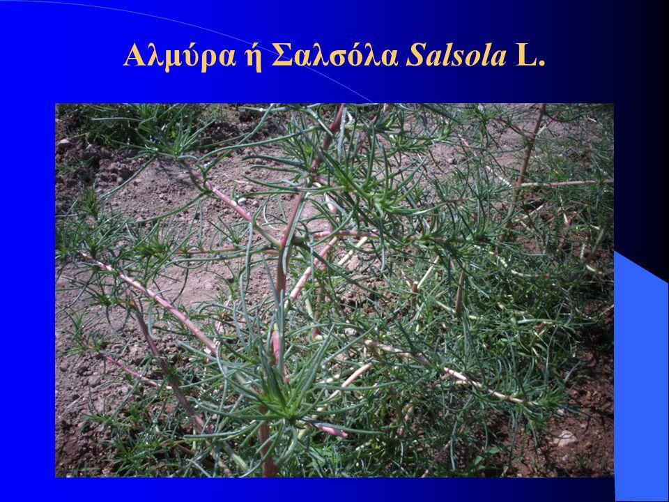 Αλμύρα ή Σαλσόλα Salsola L.