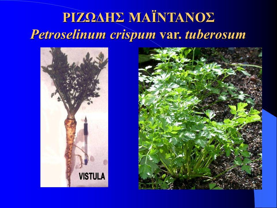 ΡΙΖΩΔΗΣ ΜΑΪΝΤΑΝΟΣ Petroselinum crispum var. tuberosum