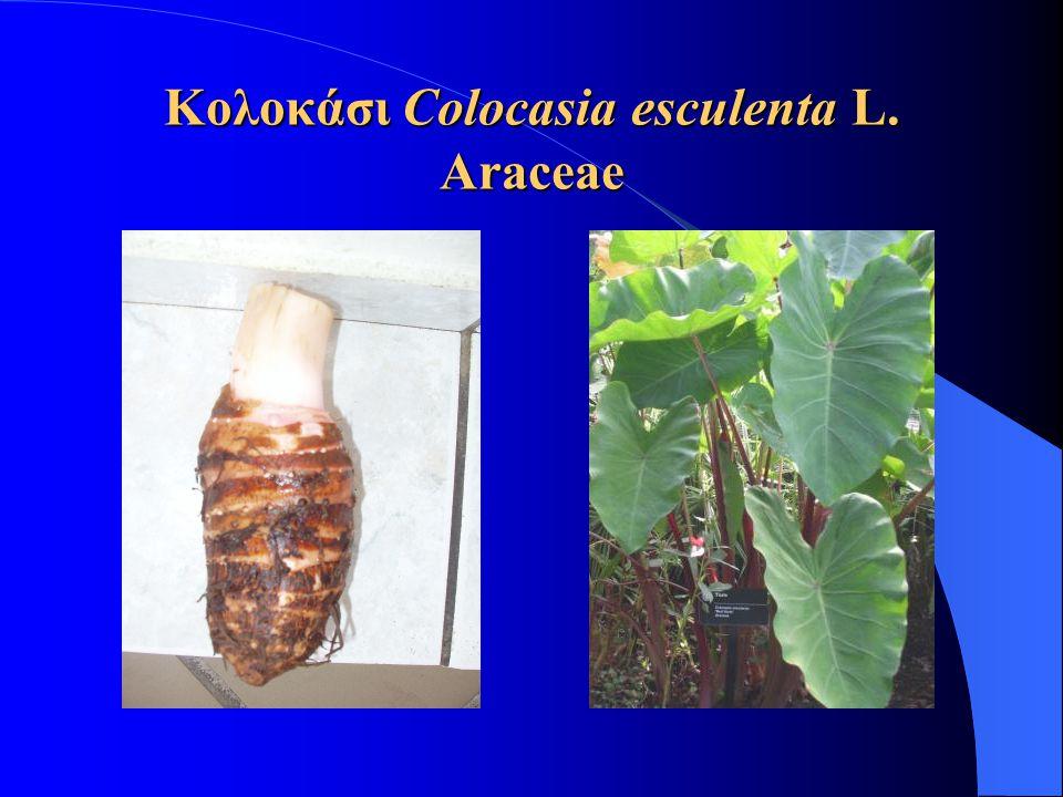 Κολοκάσι Colocasia esculenta L. Araceae