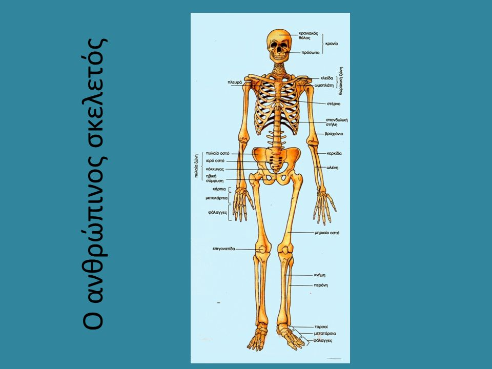 Ο ανθρώπινος σκελετός