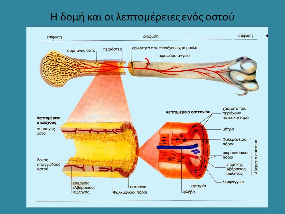 Η δομή και οι λεπτομέρειες ενός οστού