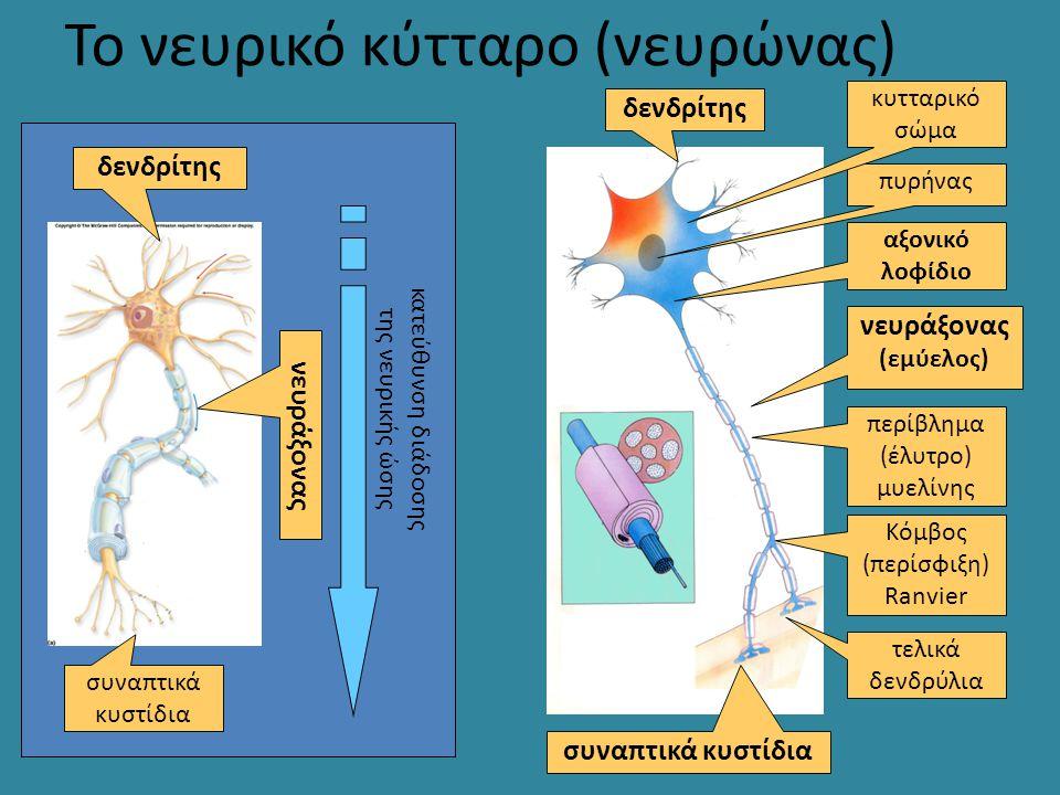 Το νευρικό κύτταρο (νευρώνας)