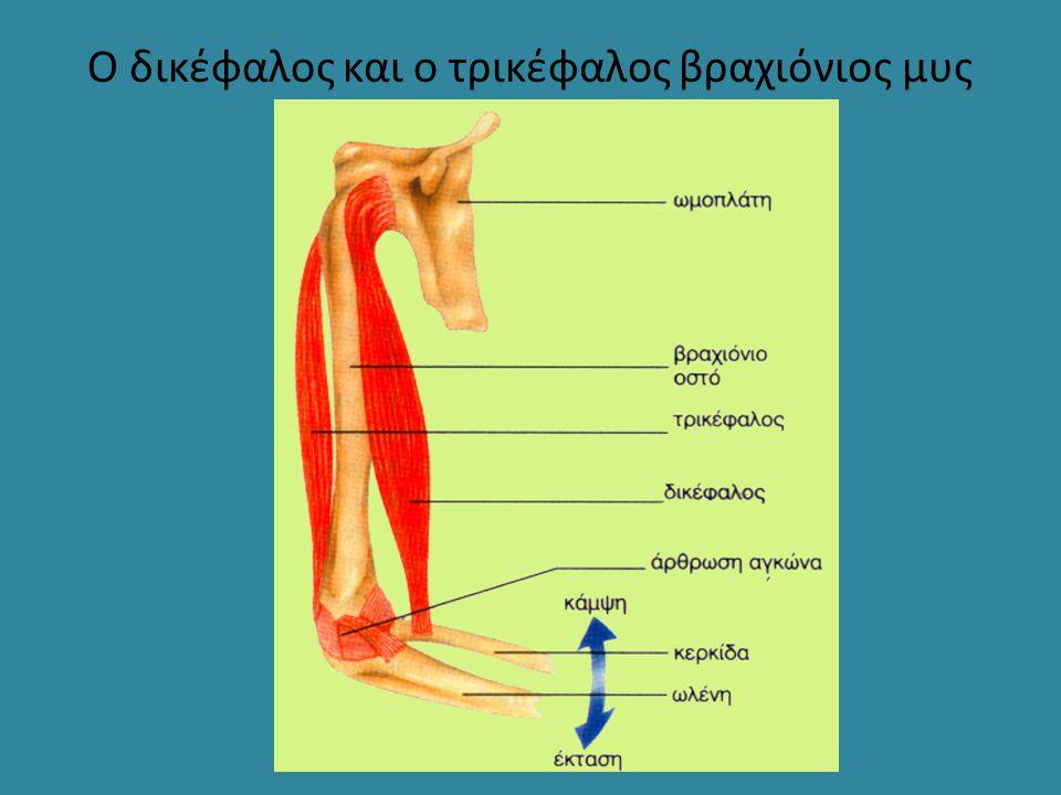 Ο δικέφαλος και ο τρικέφαλος βραχιόνιος μυς