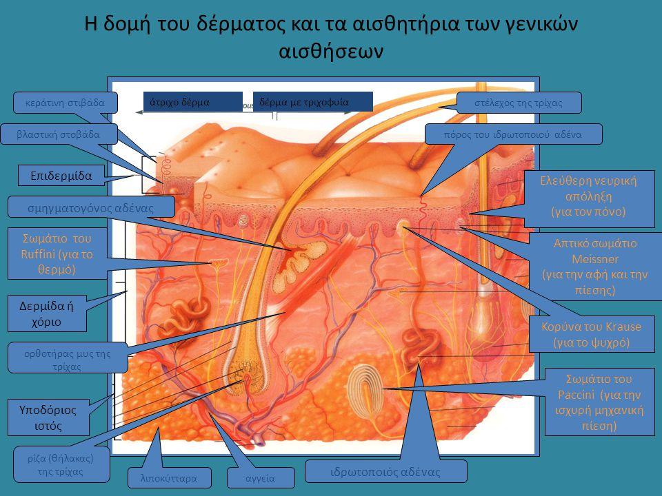 Η δομή του δέρματος και τα αισθητήρια των γενικών αισθήσεων