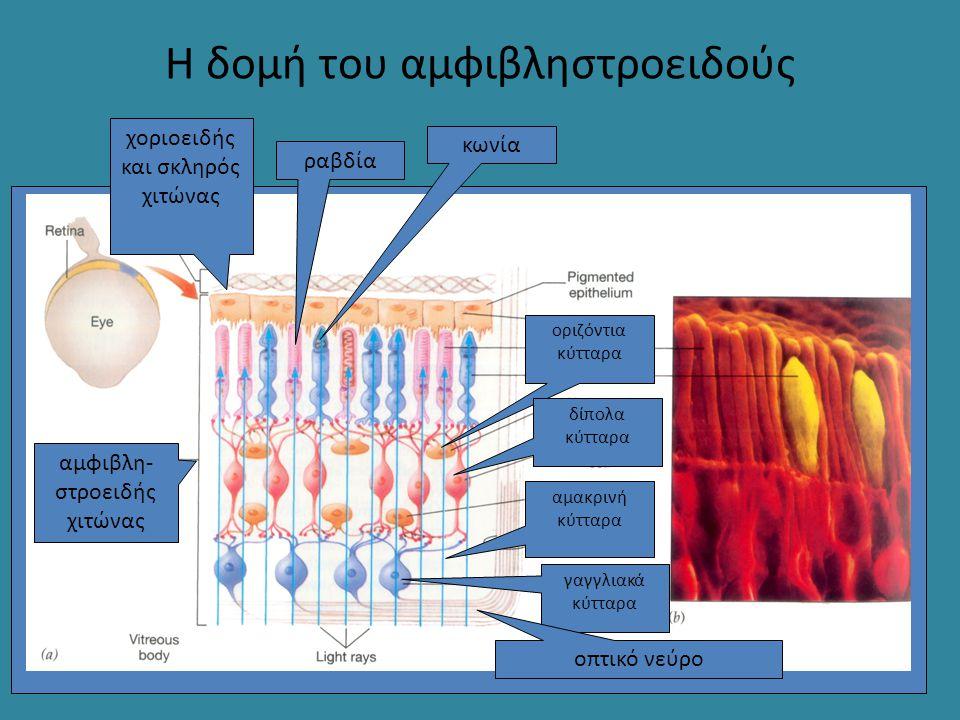 Η δομή του αμφιβληστροειδούς