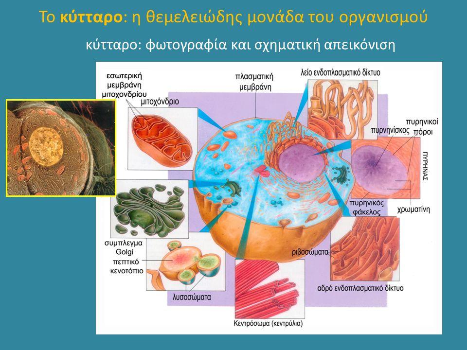 Το κύτταρο: η θεμελειώδης μονάδα του οργανισμού