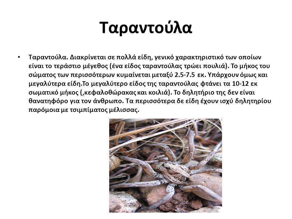 Ταραντούλα