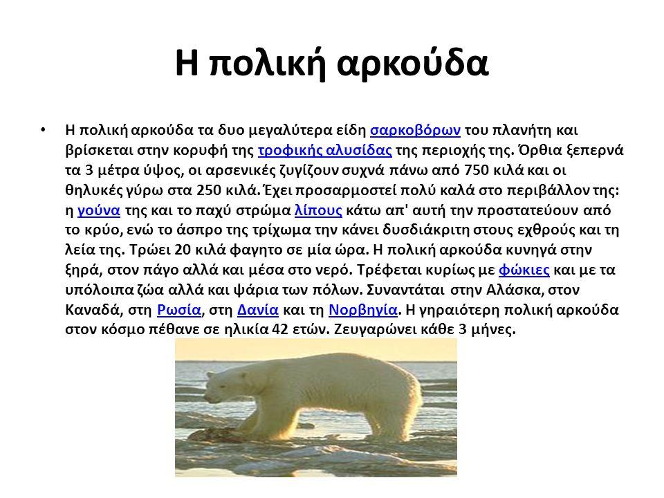 Η πολική αρκούδα