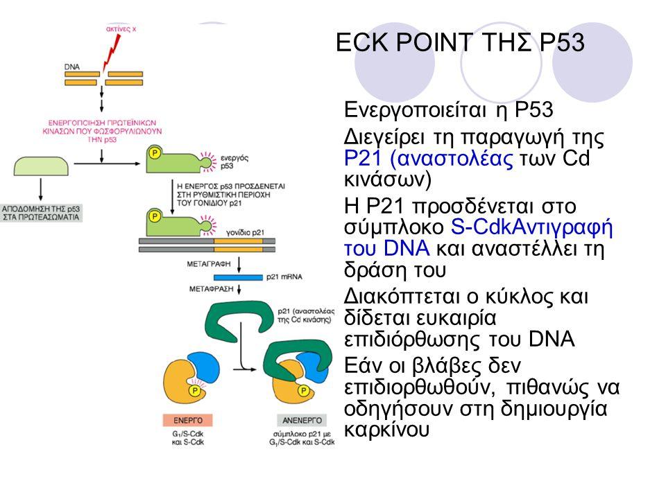 CHECK POINT ΤΗΣ P53 Ενεργοποιείται η P53