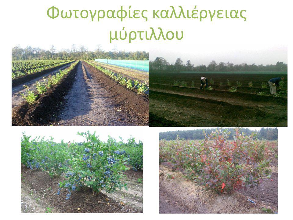 Φωτογραφίες καλλιέργειας μύρτιλλου