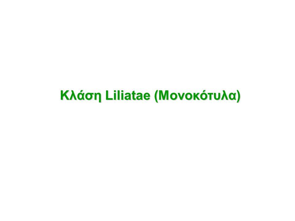 Κλάση Liliatae (Μονοκότυλα)
