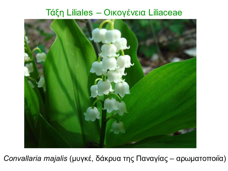 Τάξη Liliales – Οικογένεια Liliaceae