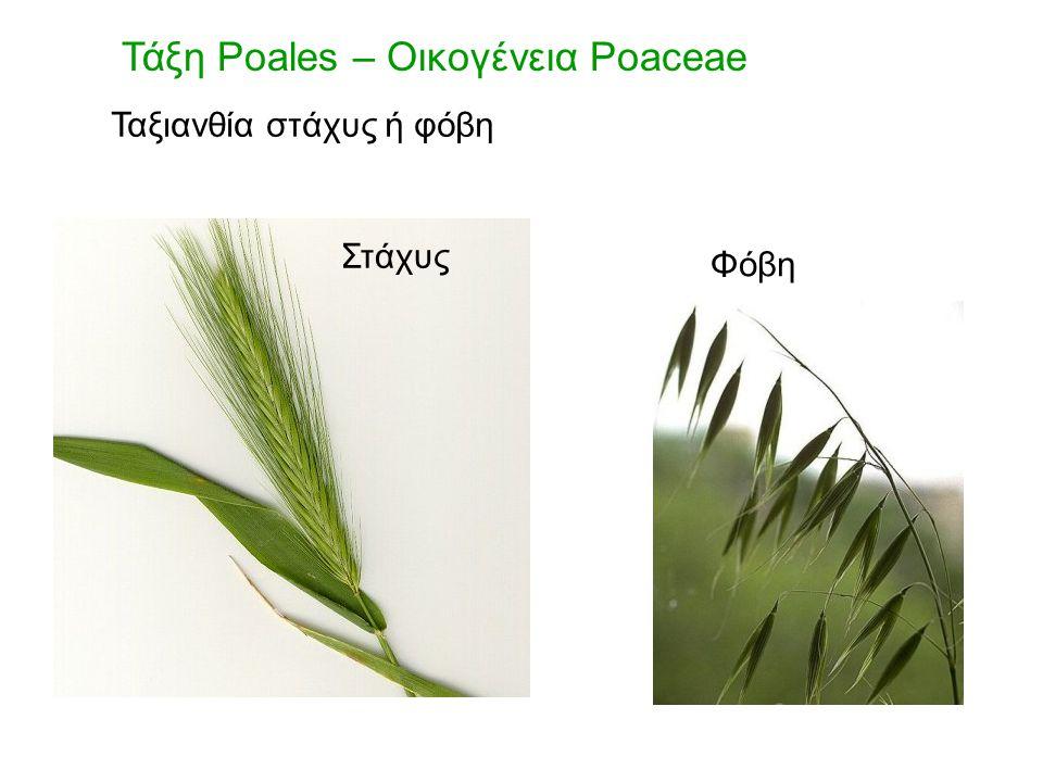 Τάξη Poales – Οικογένεια Poaceae