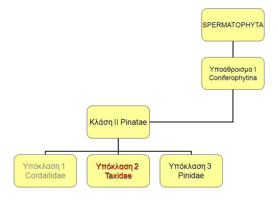 Κλάση ΙI Pinatae Υπόκλαση 1 Cordaitidae Υπόκλαση 2 Taxidae Υπόκλαση 3