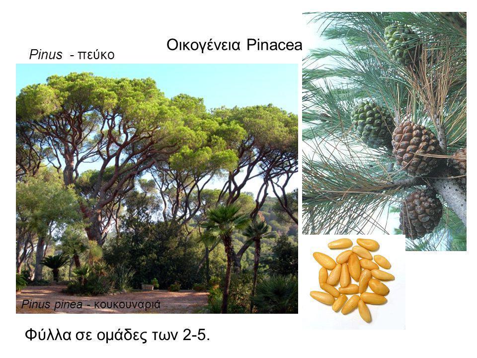 Οικογένεια Pinaceae Φύλλα σε ομάδες των 2-5. Pinus - πεύκο