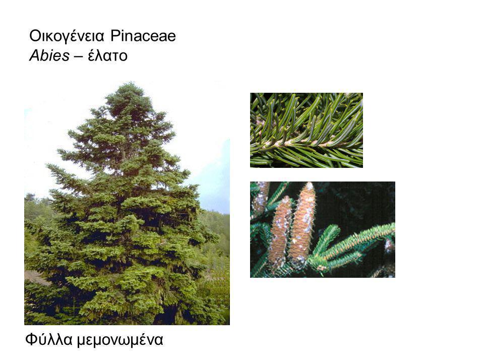 Οικογένεια Pinaceae Abies – έλατο