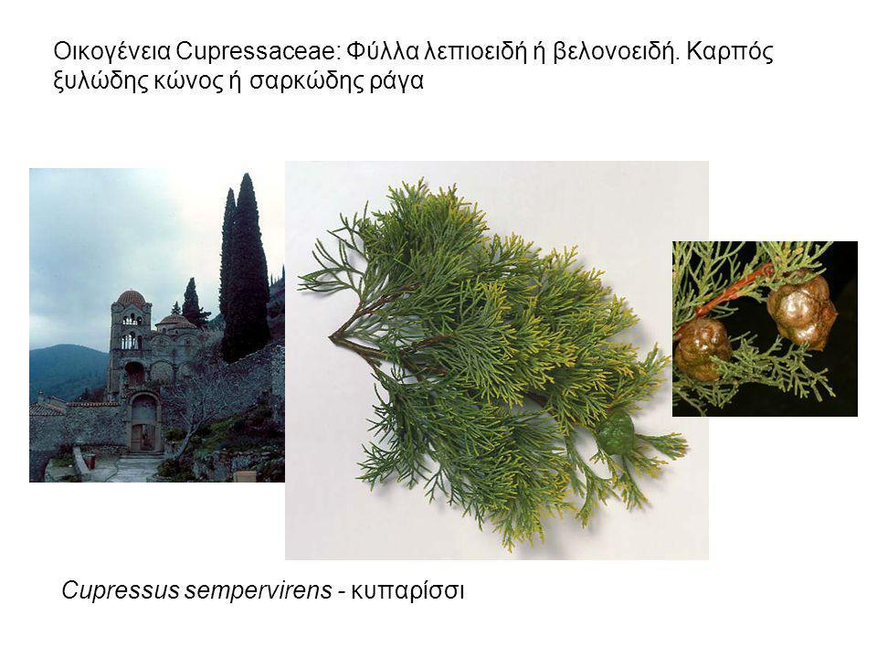Οικογένεια Cupressaceae: Φύλλα λεπιοειδή ή βελονοειδή