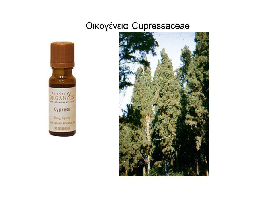 Οικογένεια Cupressaceae