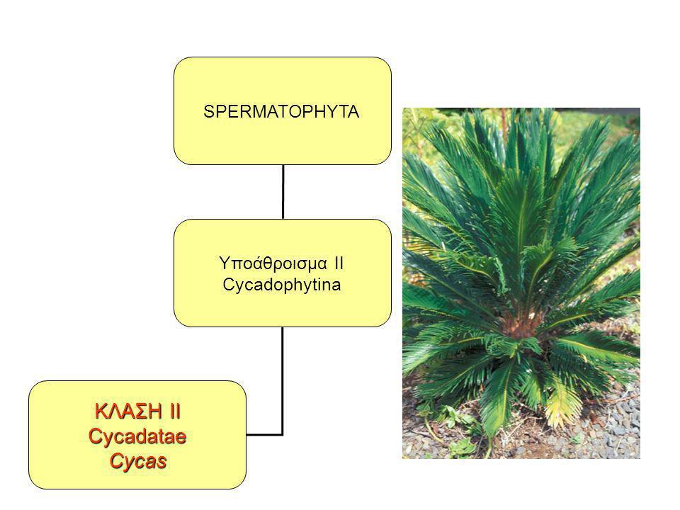 SPERMATOPHYTA Υποάθροισμα II Cycadophytina ΚΛΑΣΗ II Cycadatae Cycas