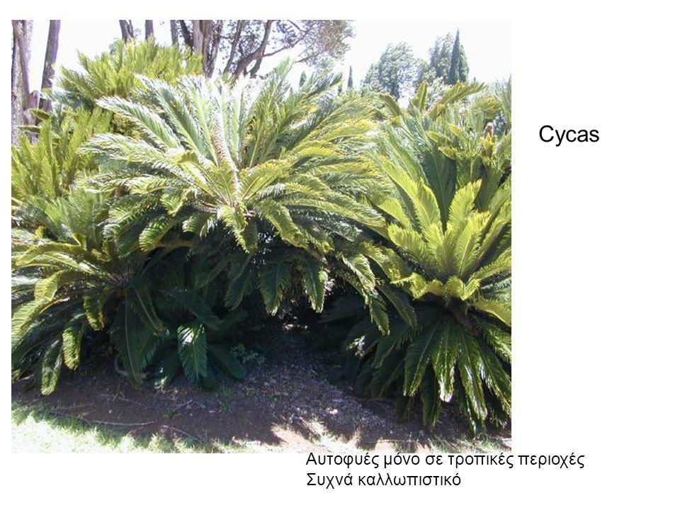 Cycas Aυτοφυές μόνο σε τροπικές περιοχές Συχνά καλλωπιστικό