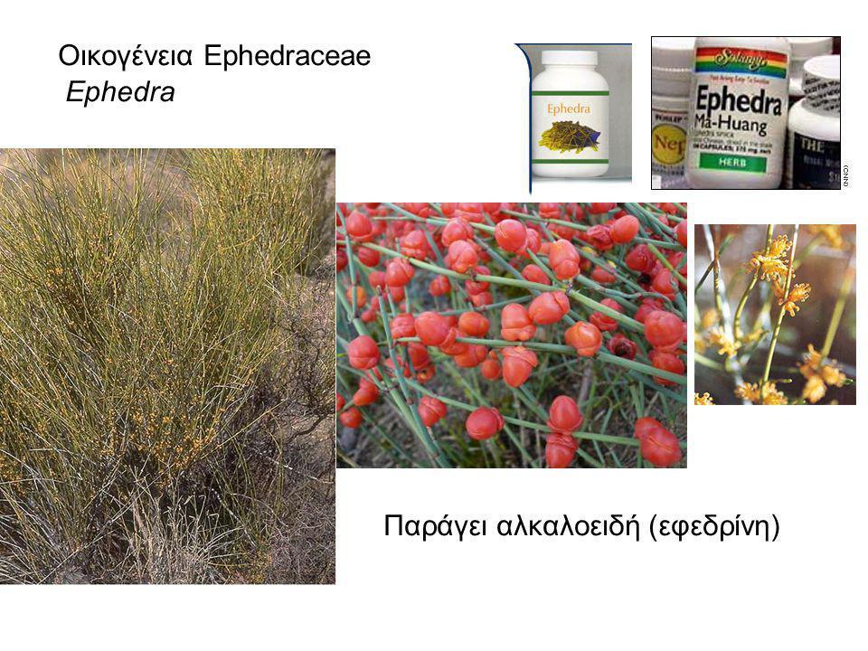 Οικογένεια Ephedraceae