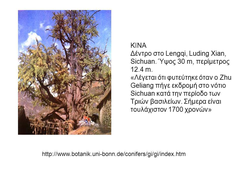 Δέντρο στο Lengqi, Luding Xian, Sichuan. Ύψος 30 m, περίμετρος 12.4 m.