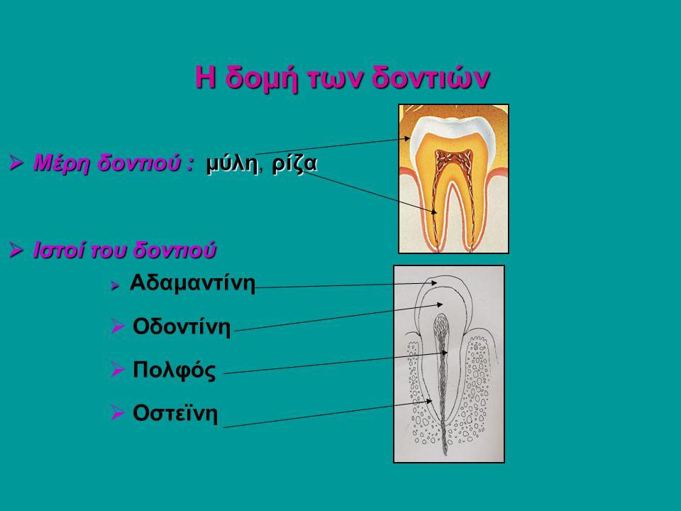 Η δομή των δοντιών Μέρη δοντιού : μύλη, ρίζα Ιστοί του δοντιού