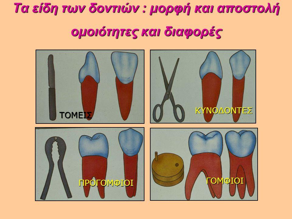 Τα είδη των δοντιών : μορφή και αποστολή ομοιότητες και διαφορές